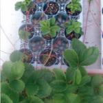 イチゴ栽培中